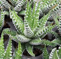 Haworthia attenuata var. attenuata (Wide Band Form) - SMG Succulents