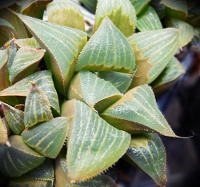 Haworthia magnifica (Riversdale) - SMG Succulents