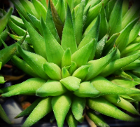 Haworthia monticola (S. of Kruis River) - SMG Succulents