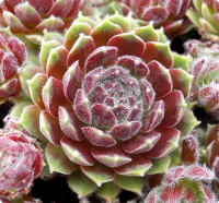 Sempervivum 'Hot Shot'
