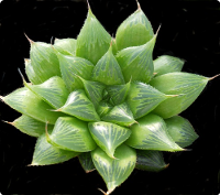 Haworthia sessiflora* - SMG Succulents