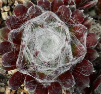 Sempervivum 'Hurricane'