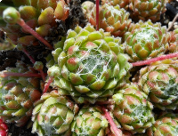 Sempervivum 'Iceberg'
