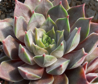 Sempervivum 'Ineke'