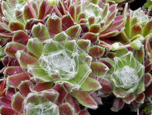 Sempervivum 'Kramer's Spinrad'