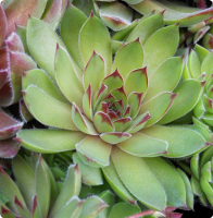 Sempervivum 'Lentezon'