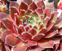 Sempervivum 'Meisse'