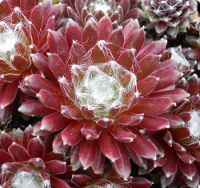 Sempervivum 'Mona Lisa'