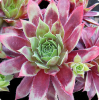 Sempervivum 'Mulberry Wine'