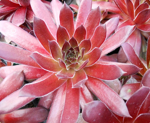 Sempervivum 'Ohioan'