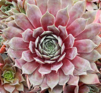 Sempervivum 'Pacific Jordan'