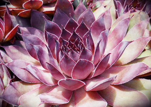 Sempervivum 'Pacific Purple Shadows'