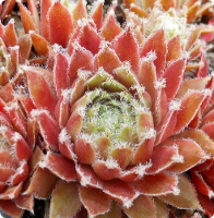 Sempervivum 'Piliferum'