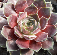 Sempervivum 'Pacific Magic Night'