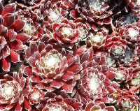 Sempervivum 'Red Pluche'