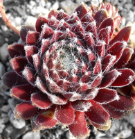 Sempervivum 'Red Wings'