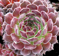 Sempervivum 'Saturn'