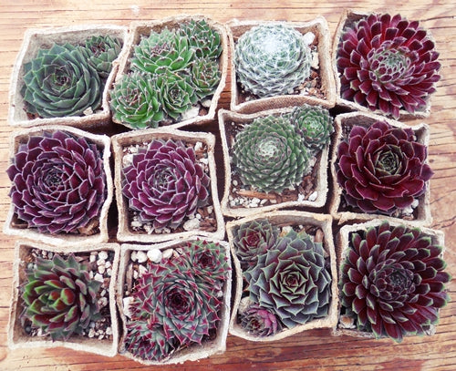 Sempervivum assorted peat pots