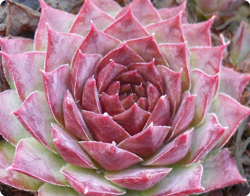 Sempervivum 'Jane'