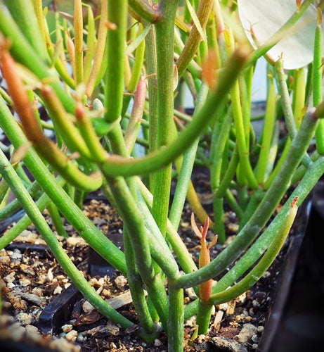 Euphorbia tirucalli 'Sticks on Fire' - SMG Succulents