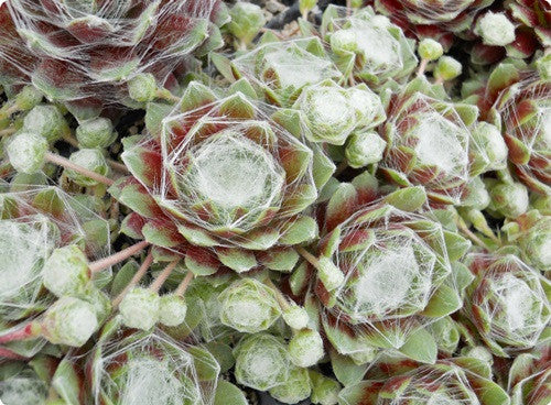 Sempervivum 'Silver Crows'