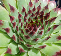 Sempervivum 'Sir William Lawrence'