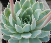 Echeveria 'Violet Queen' - SMG Succulents