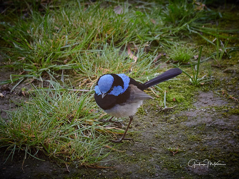 Digital Download Blue Wren Low Res