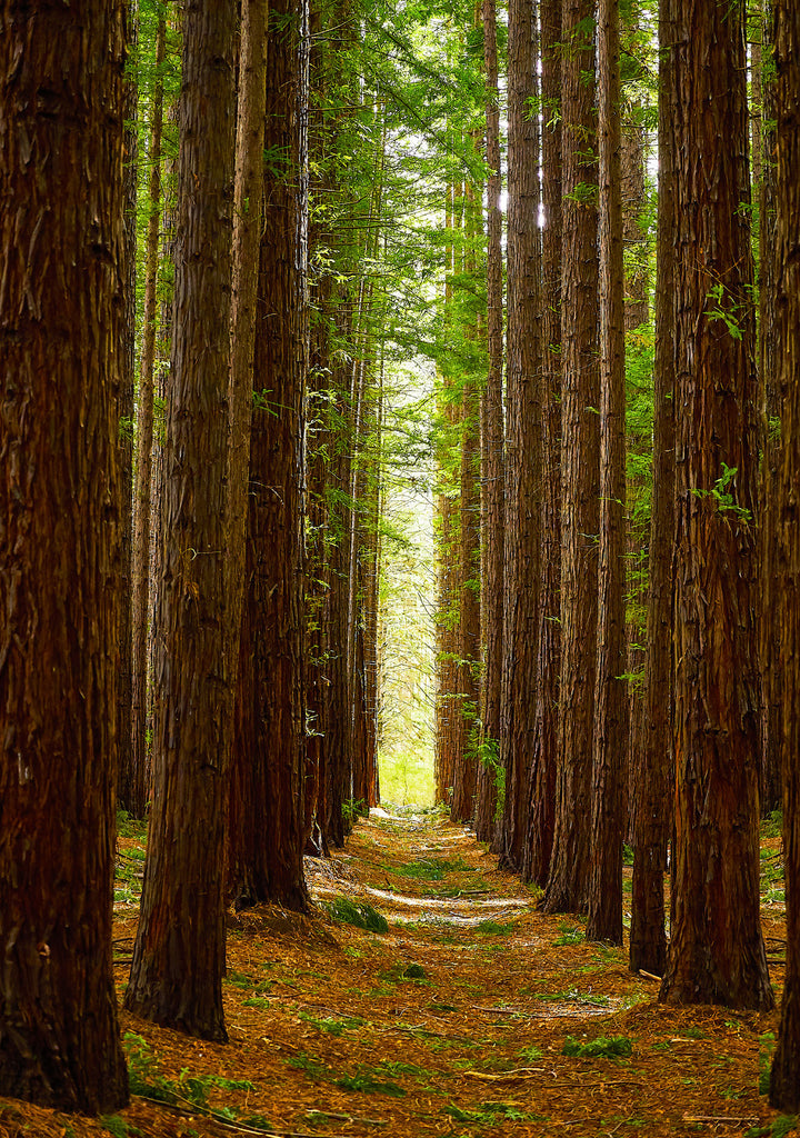 Greeting Card: Redwood Forest, East Warburton, Victoria
