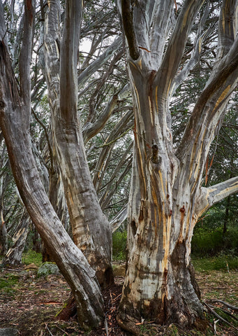 Greeting Card: Snow Gums, Mt Stirling, Victoria