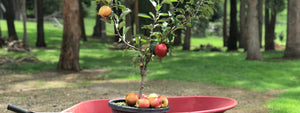 Fruit Salad Trees | Growing Apple trees in Australian climates
