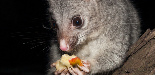Possum proofing your trees