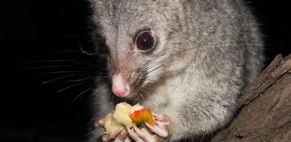 Possum proofing your trees - Fruit Salad Trees