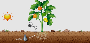 Watering your Fruit Salad Tree in the heat
