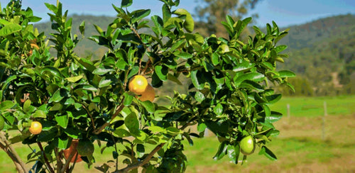 Fruit Salad Trees | Can I grow different citrus fruit in colder climates?