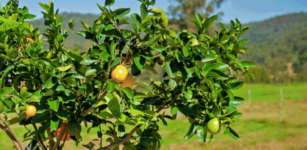 Fruit Salad Trees Can I Grow Citrus Fruit In Cold Climates