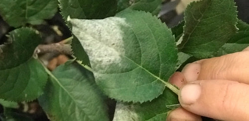 Powdery mildew on Apple Fruit Salad Tree - how to treat Apple Fruit Salad Tree Australia wide delivery fruit trees new south wales