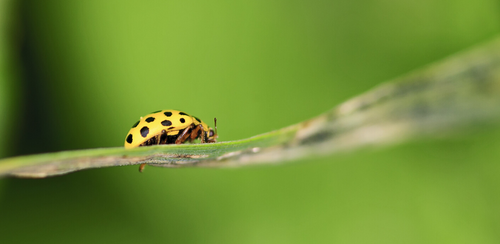 Black and yellow lady beetle or lady bug in an edible garden to help keep diseases away