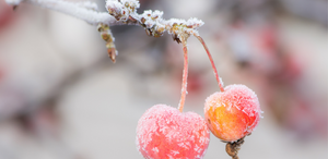 Frost prevention tips for your fruit tree in victoria, tasmania, melbourne, adelaide, south australia