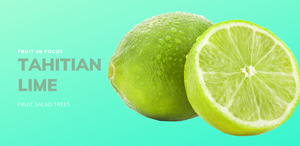 Tahitian Lime grows on our most popular Lemon and Lime Fruit Salad Tree with white blossoms