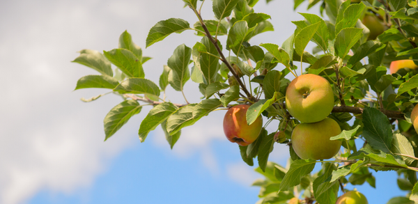 So You Want To Know About Growing Apples In Australia Fruit Salad Trees