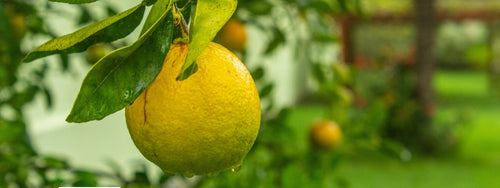 When is the best time to prune citrus trees