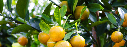 Fruit Salad Trees | What causes citrus leaves to turn yellow?