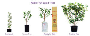 Cold climate and warm climate multi apple trees grow different apple varieties on the same tree! Heavy fruiting multi grafted trees shipped Australia Wide! Granny Smith, Red Lady, Green Glow, Tropical Sweet, Anna, Golden Dorset, Red Delicious, Fuji, Royal