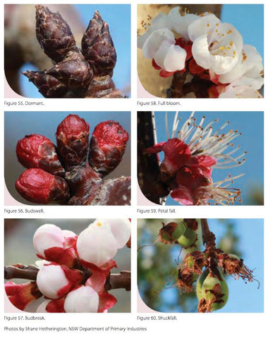Progressive stages of waking up from dormancy - Stonefruit