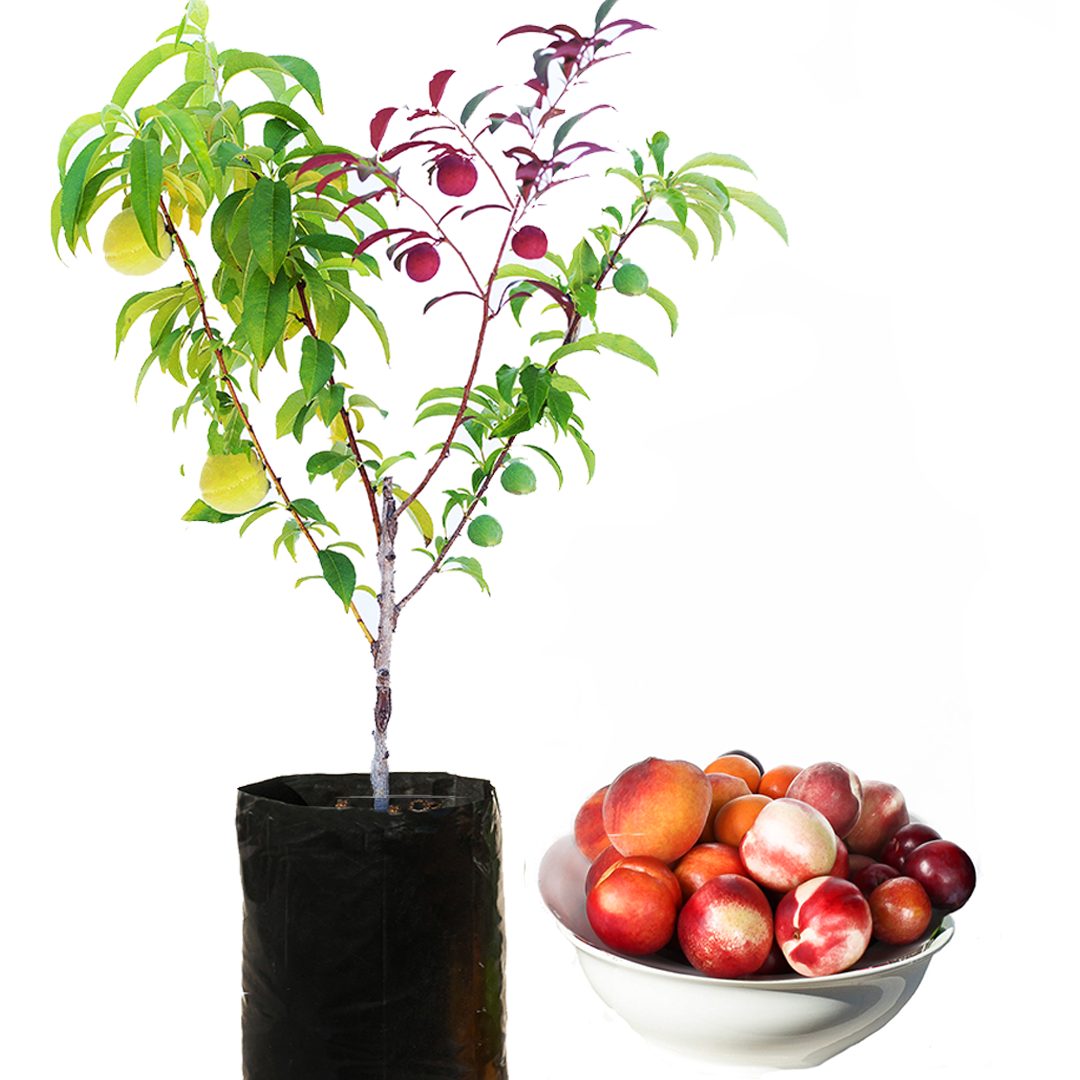 Choose From Our 3 Tree Types Fruit Salad Trees