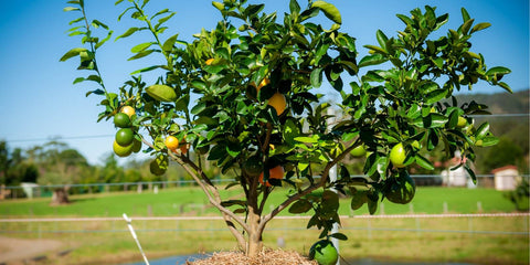 citrus fruit salad tree with strong branchwork
