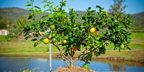 fruit salad tree in the ground in new south wales orange lemon lime pomelo grapefruit tree