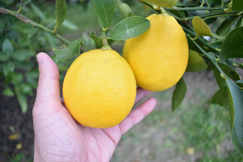 removing fruit on a citrus tree