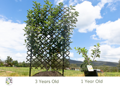 Apple Fruit salad Trees espaliered 1 year compared to 3 years